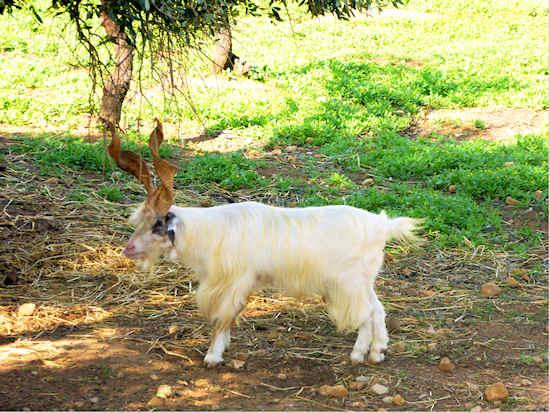 agrigento-goat